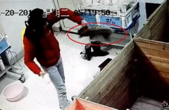 新生华南虎宝宝(红圈内)在南昌动物园遭暴力摔打.